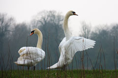 Two mute swans on river bank Stock Photos