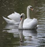 Two mute swans stock image