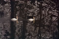 Two mute swans swimming in the river royalty free stock photography