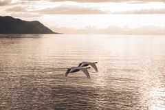 Two mute swans synchronously flying towards the sunset Royalty Free Stock Photo