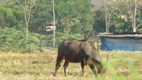 Two myna birds on the buffalo back. Two myna birds are standing on the buffalo back eating grass stock video