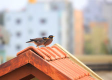 Two Myna birds on the roof Stock Photography