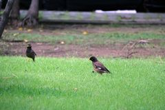 Two Mynas birds looking for food on the green grass floor. royalty free stock image