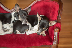 Two napping puppies. Two Rat Terrier puppies sleep on an elegant miniature red couch. Image taken on October 28, 2016 Stock Photos