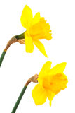 Two narcissus Stock Image