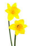 Two narcissus Royalty Free Stock Photo