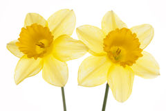 Two narcissus. Royalty Free Stock Images