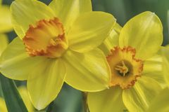 Two narcissus flowers in close-up. Decorative easter daffodils embellish gardens and parks in spring, yellow flowers a sign of tragic history, reminiscent of the stock photography