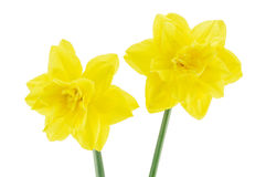 Two narcissus flowers isolated on a white. Background Royalty Free Stock Image