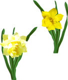 Two narcissus flowers isolated on white Stock Photography
