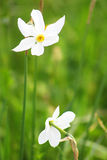 Two narcissuses Royalty Free Stock Photos