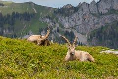 Two natural alpine ibex capricorns sitting in mountain region. Sunshine stock photo