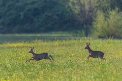 Two male roe deer bucks capreolus capreolus running in green grassland. Two natural male roe deer bucks capreolus capreolus running in green grassland stock image