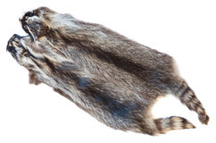 Two natural raccoon pelts Stock Image
