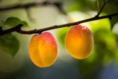 Two natural ripe apricots grow on a branch Royalty Free Stock Photos