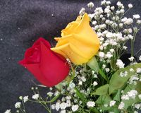 Yellow and red natural Roses Royalty Free Stock Images