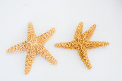 Two natural sea stars Stock Image