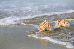 Two nautilus shell with sea wave,  Florida beach  under the sun Stock Photography