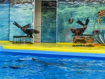 Two Navy seals twist the Hoop. show seals and dolphins. royalty free stock images