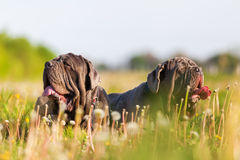 Two Neapolitan Mastiff in a dandelion meadow Stock Photos