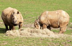 Two nepal rhinos eating in a grass field Stock Photos