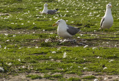 Two Nesting Seagulls Stock Image