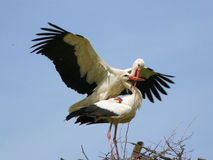 Two nesting storks Stock Photo