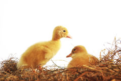 Two nestlings of duck Royalty Free Stock Photo