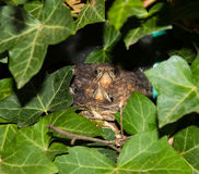 Two nestlings of an eurasian blackbird. Royalty Free Stock Photo