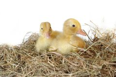 Two nestlings in nest Royalty Free Stock Photos