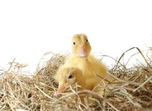 Two nestlings in nest Stock Photo