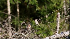 Two nestlings Red-backed Shrike (Lanius collurio) are sitting on a dry branch of a fallen tree. (1080p; 30 fps stock video