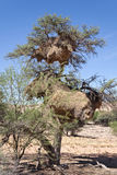 Two nests of weaver birds in an acacia tree, Namibia Stock Photos
