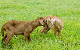 Two new-born lambs kissing Stock Photography