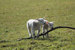 Two New Born Lambs. Stock Photo