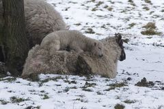 Lamb lying on mother sheep in a cold field during winter snow. Two new born Lambs in winter. One lamb is lying on mother sheep in a cold field during winter snow Stock Photos