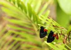 Two new emerging Atala butterflies Stock Photos