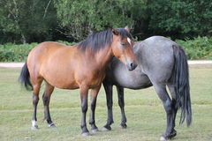 Two New Forest Ponies in the New Forest Royalty Free Stock Photo
