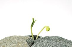 Two new sprouts on stones. Two new sprouts last upwards through stones Stock Photo