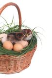 Two newborn chick in a basket with eggs isolated Royalty Free Stock Images