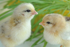 Two newborn chickens Stock Photos