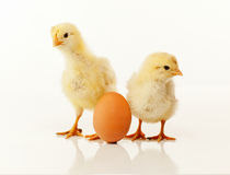 Two newborn chickens with egg Royalty Free Stock Photo