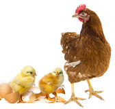 Two newborn chickens and a her Royalty Free Stock Photo