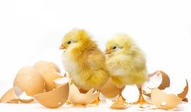 Two newborn chickens Stock Image