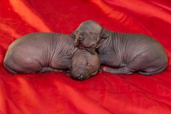 Two Newborn dog Mexican xoloitzcuintle puppie, one week old, lies on a red background stock photo