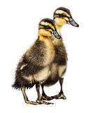 Two newborn ducklings Stock Photography