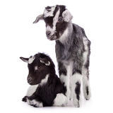 Two newborn goat Royalty Free Stock Photography