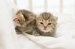 Two newborn kitten of American Shorthair Royalty Free Stock Photo
