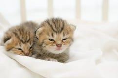 Two newborn kitten of American Shorthair Royalty Free Stock Photos
