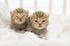 Two newborn kitten of American Shorthair Royalty Free Stock Image